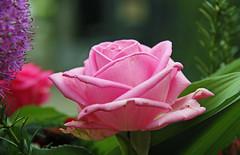 roze roos rozenfestival Lottum (ToJoLa) Tags: 2016 canon canoneos60d rose roos pink roze color rozenfestival lottum limburg