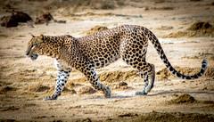 Leopard (ShehanT) Tags: leopard wildlife wildlifephotography yala yalanationalpark nature mothernature animallove animals canoneos70d canonef70300mm