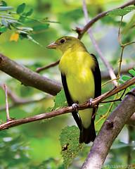 Scarlet Tanager by Jim Sullivan (jb.sullivan) Tags: scarlet tanager southern vigo county jim sullivan indiana ias