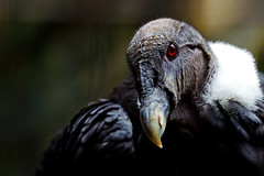 Female Andean Condor of Ueno Zoo :  (Dakiny) Tags: 2016 autmn september japan taito ueno outdoor nature park uenopark zoo uenozoo creature animal bird raptor birdofprey andean condor andeancondor nikon d7000 sigma apo 70200mm f28 ex hsm apo70200mmf28exhsm sigmaapo70200mmf28exhsm nikonclubit tokyo