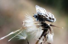 Airy (TJ Gehling) Tags: insect lepidoptera butterfly skipper hesperiidae checkeredskipper pyrgus pyrguscommunis plant flower weed asterales asteraceae catsear hypochaeris hypochaerisradicata seed canyontrailpark elcerrito