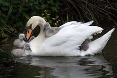 Cygnet ride_001 (Jacqueline138Kelly) Tags: field nikon wildlife swans cygnets jacquelinekelly d5200 55300mm