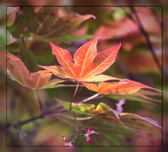 Maple Leaf (I) (gtncats) Tags: light red tree nature outside outdoors maple mapleleaf mapletree ef70300mm canon70d photographyforrecreation infinitexposure