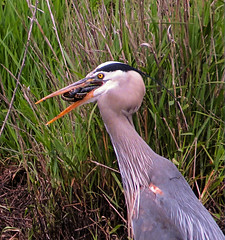 Great Blue Heron / Common Garter (kpitts5757) Tags: blue heron garter snake explore prey predator common