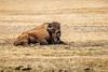 Lone Ranger (A(nDroid)Sebrell) Tags: buffalo bull yellowstonenationalpark bison tatonka