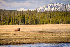 Chewing cud (A(nDroid)Sebrell) Tags: mountains field river buffalo yellowstonenationalpark bison tatonka
