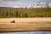 Chewing cud (A(nDroid)Sebrell) Tags: mountains field river buffalo yellowstonenationalpark bison tatonka