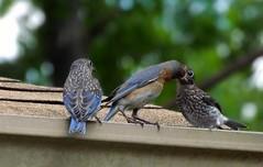 Down The Hatch (ChicaD58) Tags: spring backyard devotion hungry bluebird easternbluebird feedme rooftopdining 201a babybluebird bluebirdfledgeling livemealworms hungrybluebird bluebirdbabiesandmore