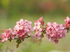 Allégresse ***-- °°° (Titole) Tags: bloomingtree blossom pink titole branch branche nicolefaton friendlychallenges thechallengefactory herowinner storybookwinner challengeyouwinner