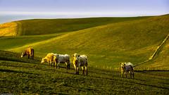 Local heroes.  ( Explored  ). (AlbOst) Tags: aberdeenshire bulls northsea eveninglight localhero pennan northeastscotland
