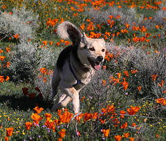 I Love Being a Dog (Rennett Stowe) Tags: life california flowers dog david flower nose happy freedom peace yeah joy memories free animalrights happiness running dreaming highdesert memory dreams poppy lancaster fields wildflowers through antelopevalley browneyes dogpark bigbrowneyes poppyfields turning floraandfauna californiapoppy joyous crossedlegs dogdreams runningdog orangeflowers adogslife lancastercalifornia blacknose celebratelife happyflowers yellowandorange californiadreaming goodmemory dogheaven animalfriend runningfree fieldsofflowers dogflower fieldofpoppies wildflowerfield wildspaces findingpeace turnedup hardtosaygoodbye californialifestyle dogdream yellowandorangeflowers happyanimal animaldreams animalheaven runninghappy animaljoy animalnirvana ilovebeingadog runningthroughfieldsofflowers celebratealllife runningthroughflowers