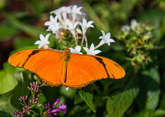 Orange (DugJax) Tags: butterfly waltdisneyworld epcotcenter futureworld juliabutterfly ef24105mmf4lisusm internationalflowerandgardenfestival canonrebelt2i tinkerbellsbutterflyhouse