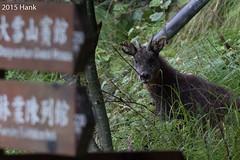 Taiwan Serow /  (Naemorhedus swinhoei) (a-giau) Tags: taiwan    7d2 daxueshan dasyueshan 7dii 7dmarkii taiwanserow tamron150600mm naemorhedusswinhoei