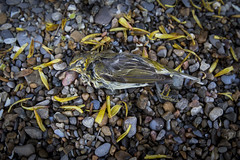 Casualty of the Storm - Cape May Warbler (Paul B Jones) Tags: storm bird tourism beach nature rain weather animal danger dead island photo spring image wildlife victim picture greatlakes photograph pelee migration oiseau thunder threat hazard casualty mortality ecotourism capemaywarbler 1635mm peleeisland fishpoint ontarioparks 1dx setophagatigrina fishpointprovincialnaturereserve lîlepelée