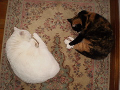 Mystic and Autumn (universalcatfanatic) Tags: wood pink autumn sleeping orange cats brown white black up cat carpet wooden beige floor sleep hard tortoiseshell together calico sharing rug curled tortie curl share mystic lay laying hardhard