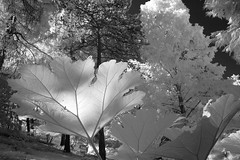 alter botanischer Garten Kiel  old botanic garden Kiel (Shot Yield Photography) Tags: old trees red plants white plant black tree monochrome leaves germany garden ir deutschland photography photo leaf foto shot image dream picture like foliage infrared botanic yield dreamlike alter garten infra kiel botanischer shotyieldphotography
