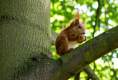 Squirrel on tree - #m43turkiye (Ciddi Biri) Tags: nature animal mammal squirrel feeding eating wildlife walnut hayvan sincap 40150 doalyaam omdem10 m43turkiye