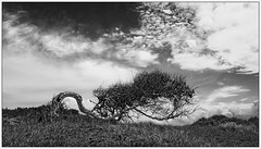Quelled Natur #1 (Wayne Interessiert's) Tags: norderney insel island le wattenmeer landschaft landscape paysage wolken clouds nuages himmel sky ciel monochrome bw black white noiblancphoto baum tree arbre birke birch bouleau weide prairie saule