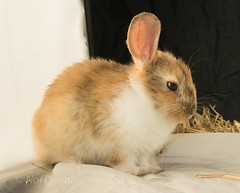 Moki (Noi Dennis-Photography) Tags: rabbits