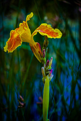 Lirio (seguicollar) Tags: flower flor lirio iris naranja orange estanque virginiasegu nikond5200 vegetal vegetacin plantas verde green amarillo