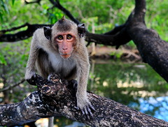 ,, Evolution ,, (Jon in Thailand) Tags: monkey primate jungle nikon d300 nikkor 175528 eyes conehead pointyhead swamp tree reflection planetoftheapes evolution alien whatsayyou wildlife wildlifephotography