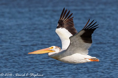 Big Pelican (dcstep) Tags: flight bif birdinflight wing pelican americanwhitepelican aurora colorado unitedstates us y6a8903dxo cherrycreekstatepark nature urban urbannature allrightsreserved copyright2016davidcstephens dxoopticspro11 handheld
