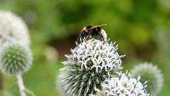 The Summer Summit (SteveJM2009) Tags: echinops globethistle white bumblebee bee dof focus bokeh detail kingstonlacy dorset uk july 2016 summer stevemaskell naturethroughthelens