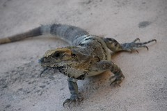 Iguana (eleonoraborsatti) Tags: animali animals rettile iguana summer messico
