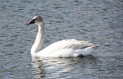Tundra Swan (David Badke) Tags: bird bc colwood
