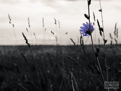 On the Fields of Russia (ivan.dolgoff) Tags: field olympusepl3 outdoor russia flowers