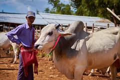 Myanmar 104 (franksteinmann) Tags: myanmar burma asia aungban cattle market ox seller man