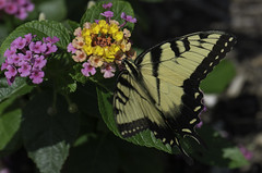 Butterfly_SAF2241-2 (sara97) Tags: butterfly copyright©2016saraannefinke flyinginsect insect missouri outdoors photobysaraannefinke pollinator saintlouis towergrovepark swallowtail easterntigerswallowtail papillaglaucus papilioglaucus midwest
