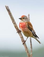 Linotte mlodieuse (pcaze81) Tags: sigma150500mmf63 domainedesoiseaux arige oiseau canoneos550d carduelisflavirostris fringillids passriformes twite bird linottemlodieuse