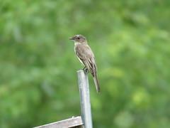 Eastern Phoebe (jdf_92) Tags: bird indiana phoebe sayornisphoebe northforkmarsh