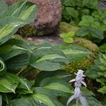 In my garden, July thumbnail