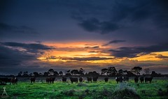 THE ON LOOKERS (Laws Photography   www.lawsphotography.com) Tags: winter sunset sky cloud color colour beautiful field animals clouds canon landscape colorful skies glow cattle cows outdoor beautifullight melbourne stormy storms grassland stormysunset cattleranch amazingskies canon6d lawsphotography vaughanlaws vaughanlawsphotography