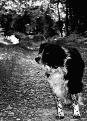 Old Lady (Z) Tags: dog border collie black white tasha lane walk chien berger sheepdog old bw noir blanc noirblanc nature normandy voie normand