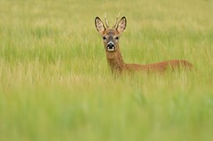Young Roe Deer buck (Wouter's Wildlife Photography) Tags: male nature animal mammal wildlife deer buck roedeer billund rådyr pattedyr
