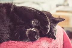 Not today (WillemijnB) Tags: cat kat chat katze nap dutje slapen sieste siesta nottoday posing gato towel handdoek serviette dof depthoffield bokeh hiding verstoppen cach neus nez nose nase snoet fratze visage poot paw patte bein pfote vorderbein vorderpfote pattesavant verstopft schlaf ruhe schlummer schlfchen nickerchen dutten dormir eos70d 50mm
