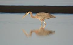 Great Blue Heron (Explored) (Brad Rangell) Tags: greatblueheron heron bird whiterock britishcolumbia canada beach pacificocean outdoors