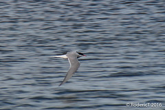 20160629-IMG_4906 Artic Tern Loch Of Stenness Orkney Scotland.jpg (rodtuk) Tags: 70d roderickt scotland b23 nature bird places phototypes orkney uk