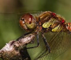 _MG_1886 (jjays7155) Tags: eos7d cadnamcommon ef70200f4 dragonfly