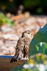 Juvenile White-crowned Sparrow (wanderinggrrl) Tags: picofweek shutterstock year4week10 crowned juvenile ornithology outdoors park perched perching sitting songbird sparrow spring summer usa white whitecrowned wildlife wing young