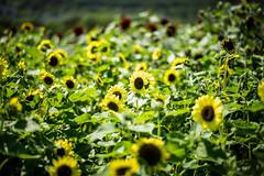 We are All Golden Sunflowers Inside (moaan) Tags: flower flowering awaji hyougo japan jp flora sunflower sunflowers fieldofsunflower summer july bokeh dof utata 2016 akashistraitpark awajiisland leica mp leicamp type240 summilux 50mm f14 summilux50mmf14asph