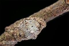 Wrap-around orb weaver (Talthybia sp.) - DSC_8010_anim (nickybay) Tags: malaysia pantiforest johor macro animation araneidae wraparound spider orb weaver talthybia
