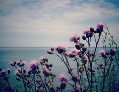 Flowers and  water ...~ Fleurs et eau... (France-) Tags: 683 fleur flower lac lake ciel sky ontario toronto cirses cirsium cirse nature plante