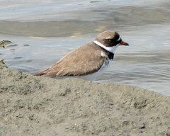 Semipalmated Plover (jaybirding) Tags: animal bird leicavlux114 maine me outdoor stormer scarborough us