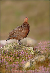 Red Grouse (Mike Warburton Photography) Tags: wales birds wildlife nature redgrouse moor mountain breconbeacons heather summer colour gamebird dawn sunrise sunshine canon 70d sigma