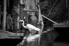 Wait a Minute (Edd Leyva) Tags: xochimilco cdmx lake mexico trajinera greategret nikon d3200 55300mm bw shimmer wather fotoretinacollective