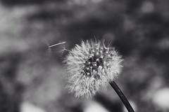 Blow (judit.costa) Tags: nikon lofoten landscape vsco flower blow white black plant norge nature